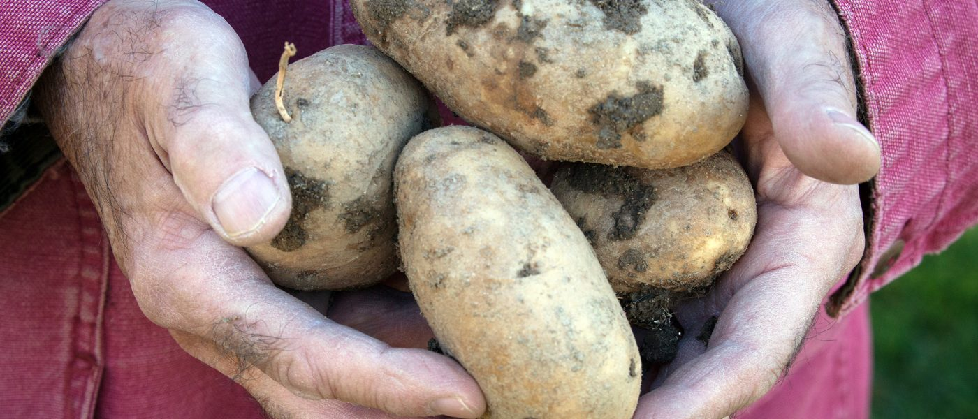 farmer hands with potatoes